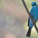 Verdite Flycatcher Ananthagiri Hills small